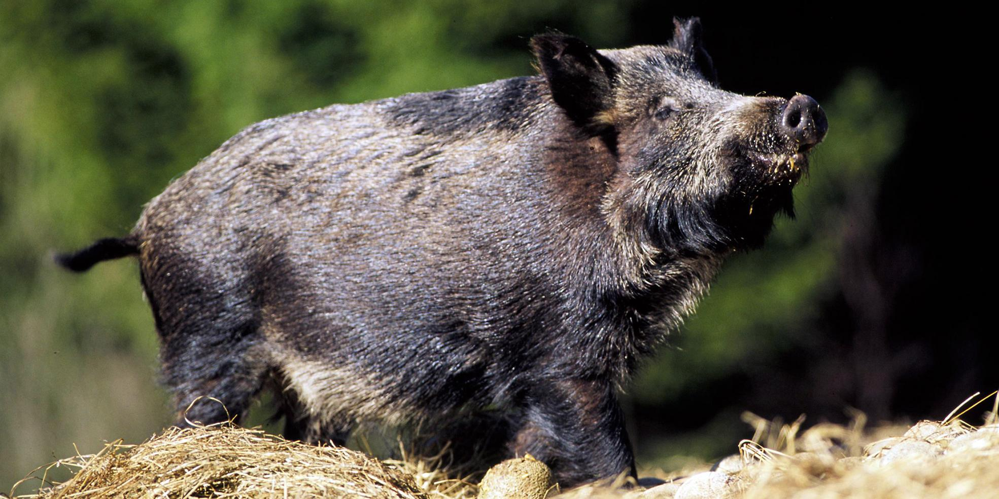 Vanligtvis är vildsvin skygga djur, men i Kvarntorpsområdet har de nu närmat sig människor även på dagtid. Bilden är tagen i ett annat sammanhang.