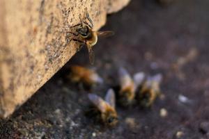 Surrandet från bikuporna startar våren!