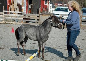 Den 4-årige hingsten Blue Moon blev även årets miniatyrhäst 2016. Till vardags tränar han gärna agility med låga hinder och hopp med stolta ägaren Monika Swedstrand.