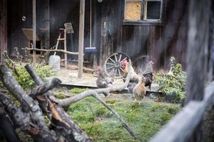 Hönshuset till de värpande familjemedlemmarna är byggt av överblivet virke. Hit når också gårdens internet, för att webbkamerorna ska kunna livesända till Jocke och Rebeccas telefoner hur fåglarna har det.