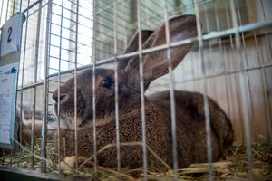 Största kaninen på utställningen, närmare sju kilo tung. En belgisk jätte som bor hos Michael Sigglund i Fjärdhundra.