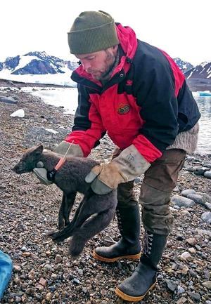 En fjällräv försågs med ett satellithalsband och kunde spåras när den på rekordtid tog sig fram på isvidderna mellan Norge och Kanada. Foto: Elise Strömseng/Norska Polarinstitutet