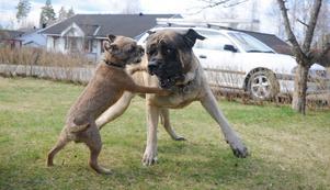 Ozzy och Buskis leker gärna tillsammans när de träffas.
