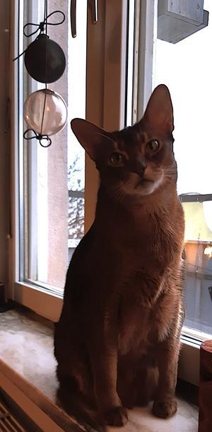 400) Osiris, bror till Isis och abessinier, är alltid med där det händer. Världens trognaste sällskapskatt. Foto: Margaretta