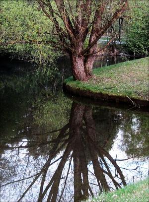 Vackra platser hittar man lite varstans även i Västerås. Det här fina trädet som speglar sig i vattnet, tog jag vid svartån på Gideonsberg.