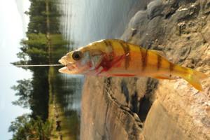 Abboren som jag fick med metspön var inte stor! Men när kvälls-solen lyste så kunde jag se alla dessa vackra färger som denna fisk genomlyste.