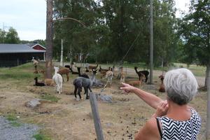 På gården finns ett fyrtiotal alpackor.