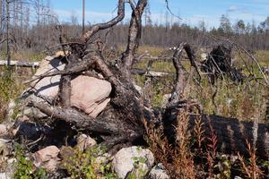 Vilka krafter! I fallet har det brandskadade trädet dragit med sig en stor sten