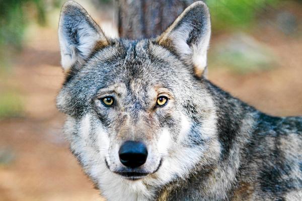 Länsstyrelsen får kritik efter att de sköt en genetiskt viktig varg mellan Sveg och Hede. Arkivfoto: Länsstyreslen
