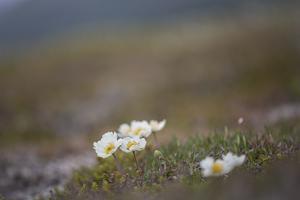 Fjällsippa. En av de första växterna som vandrade in i Sverige efter istiden. På fjällsippshedarna, ibland kallade Dryashedar, efter fjällsippans latinska namn, finns ofta många andra kalkkrävande fjällväxter. Foto: Lisa Öberg