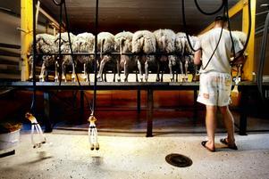 Gårdsmejeriet i Bredsjö leverera råvaran till osttillverkningen. Bland ostarna sol tillverkas märks Bredsjö Blå som gjort succé i Sverige. Foto: Lennart Lundkvist