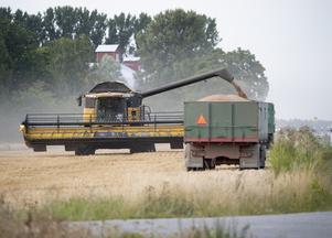 Skördetröskan tömmer sin spannmålstank på ett lastbilsflak .Foto: Fredrik Sandberg/TT