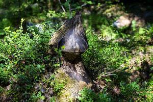 En bäverskulpterad stubbe som börjar bli till åren.