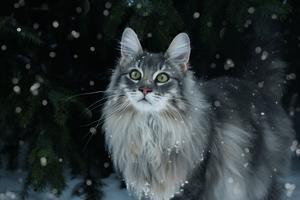 9) Det här är Rufus 3 år, som njuter av snöfallet. Han är en blandras mellan norsk skogkatt och bengal. Utseendet har han från skogkatten men bengalen i honom är en riktig pratkvarn. Foto: Anna Johansson