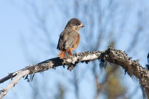 Nu sitter de nyutflugna ungarna mestadels högt upp intill stammen av någon gran och väntar på mat.