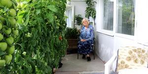 Lillemor Jansson odlar tomater på sin balkong, i fjol fick hon över 50 kg tomater.