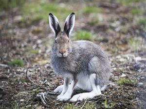 Hundratals harar i Norrland har dött av bakterien som sprider harpest.