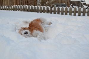Om bilden: Chico är en snart nio-årig kromfohrländer som älskar snö. Så fort det finns snö vill han lägga sig ner och rulla i den. Här är han hemma på vår tomt och leker. Tyvärr har det inte blivit så mycket snö i år, men han hoppas fortfarande på att det ska komma!Chico bor hos mig och min man på helgerna och hos mina föräldrar på veckodagarna, så vi har delat vårdnad. Perfekt när man jobbar och inte kan ha hund på heltid!När Chico inte rullar sig i snön brukar vi springa ihop, träna agility och gå långa skogspromenader, ibland blir det ett och annat personspår också. Foto: Karin Wiman