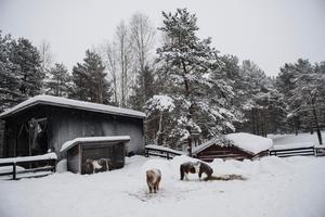 Minishetlandsponnyerna på Junsele djurpark har tidigare jobbat på cirkus. Nu är de pensionerade och går de mest i sina hagar och tar det lugnt.