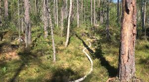 Mycket slang lagts ut i skogen för att kunna komma åt och bevattna eldfronten.