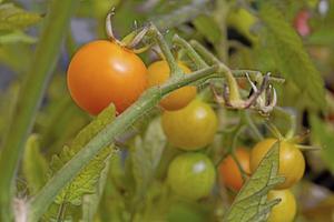 En egen liten tomatodling. FOTO: Martina Holmberg / TT