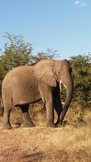 En av de dokumenterade elefanterna i området. Idagsläget har Alert identifierat 500 individer.
