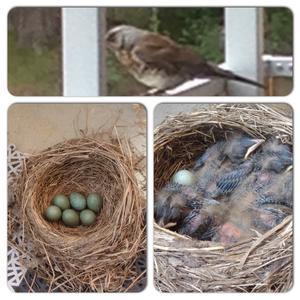 Detta bo ligger på balkonggolvet och i tisdags förra veckan var det fortfarande bara ägg. I förrgår fanns det 6 fågelungar i boet. Mamma vaktar äggen/ungarna från säker plats