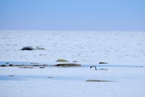 En knölsvan letar mat i Gamla Grisslehamn. Foto: Björn Karlsson