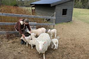 Eya Le Wartie ger välling till de nyfödda lammen.