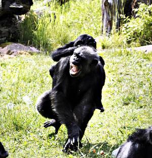 En schimpansmamma med unge är vad Furuviksparken vill se framöver.
