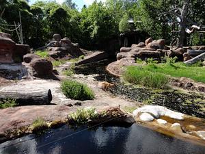 Rådjuret hoppas ned i vattnet och försökte fly undan de upprörda schimpanserna. Foto: Karin Mattsson