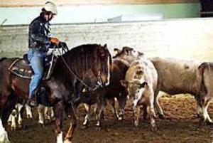 Foto:NICKBLACKMON Cowboy. Krister Lundberg från Hedesunda siktar in sig på en ko och försöker skilja den från flocken genom att rida hästen Pilgrim mellan dem. Han var en av deltagarna i boskapskursen hos Ockelbo ryttarförening i går.