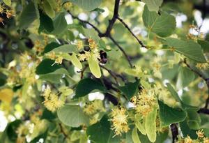 Humlorna flockas i linden trots att de dör av sockret i dess nektar.