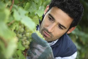 Om man åker till franska vingårdar på hösten kan man få bevittna skörden av druvorna.   Foto: Shutterstock.com
