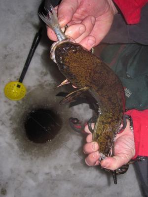 Ska du fiska lake så ska du passa på nu.