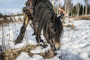 Den varma vintersolen har tinat fram lite torrt fjolårsgräs som Teja tacksamt tuggar i sig medan Sture lastar på ytterligare ett timmerlass.