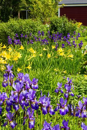 Blomsterglädje hos Augusto. Iris i kombination med gula liljor.