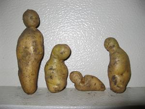 Vi har ett väldigt litet potatisland.När vi grävde upp våra potatisar hittade vi den här familjen.