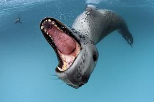 Leopardsäl visar tänderna.