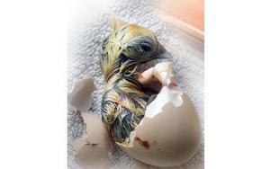 Ja, nu måste den nykläckta kycklingen vila sig lite. Det är drygt för den att ta sig ut ur ägget. Redan nu syns det att den blir gul randig.