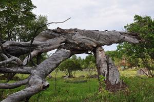 Det här gamla päronträdet är det enda som minner om att här har funnitsett torp, människor har levt och verket här. Om ett antal år är det helt borta och naturen har återtagit allt.