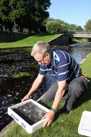 Gunnar Andersson förbereder sig på att släppa ut den tredje lådan med ålyngel i Söderhamnsån.