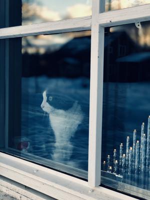 291) Katten Stina 15 år. Sittande på favoritplatsen i fönstret. Spanandes efter grannarna. Foto: Sten-Björn Sköld