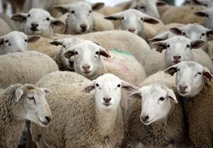 Smittsamma sjukdomar hos nötdjur och får riskerar att komma in i landet. Foto: TT