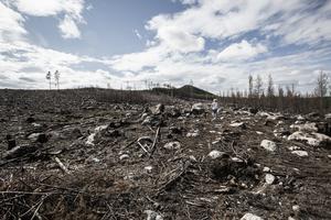 Bara meter från huset där Madeleine Carlsson bodde härjade skogsbranden. I dag är det ett kalhygge kvar.
