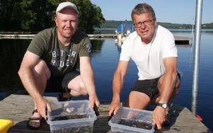 Patrik Andersson och Ulf Ljusteräng med ålynglen som strax ska släppas i sjön.