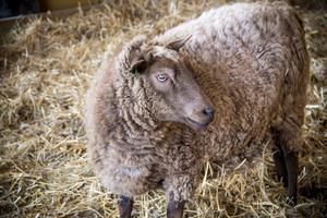 Två värmlandstackor bor det på gården,  Maja och Nellie, som tidigare bott på en 4H-gård.