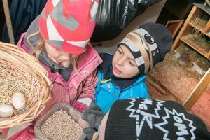 Barnen hjälps åt att fylla på pellets till hönsen.