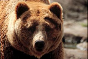 Ungefär 200 björnar i länet är målsättningen. I dag är siffran högre, minst 300 björnar, har DNA-analyser av spillning visat.