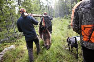 Björnjakten påbörjas den 21 augusti.